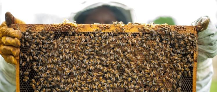 """""""… eine Biene beschämt durch den Bau ihrer Wachszellen manchen menschlichen Baumeister. Was aber von vornherein den schlechtesten Baumeister vor der besten Biene auszeichnet, ist, dass er die Zelle in seinem Kopf gebaut hat, bevor er sie in Wachs baut."""""""