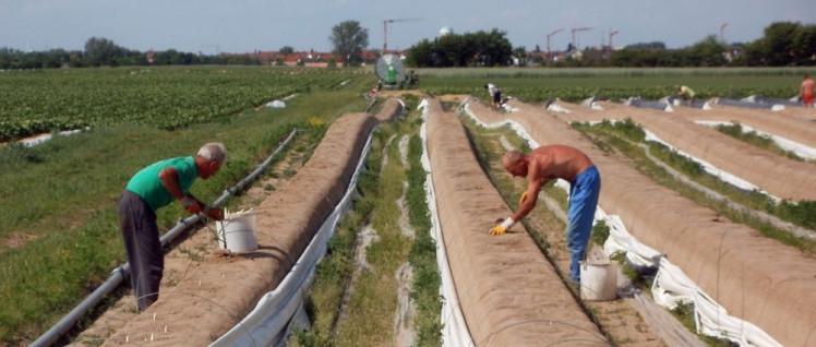 Es gibt auch Gewinner der Hitzewelle, wie zum Beispiel Spargel in Thüringen. (Foto: gemeinfrei)